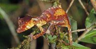 gecko de cola satanica