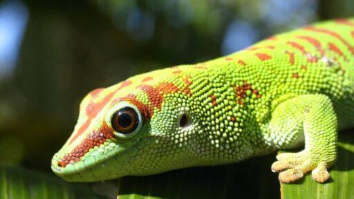 gecko phelsuma