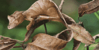 gecko cola hoja satanico