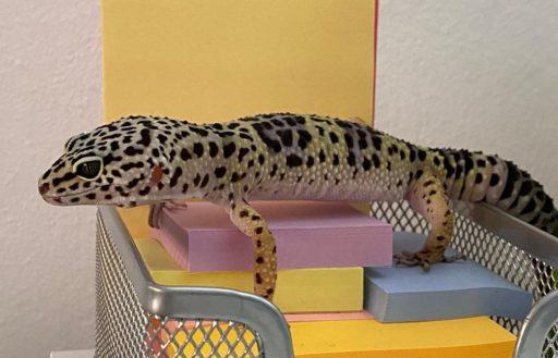 gecko luigi