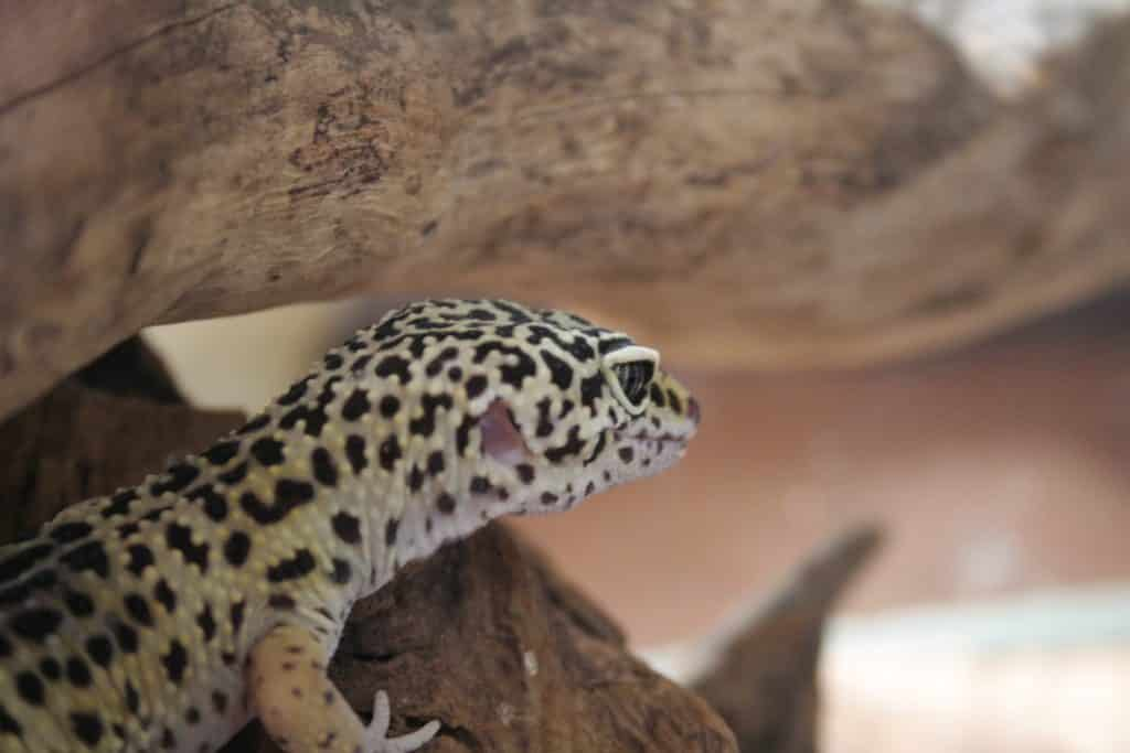 gecco leopardo