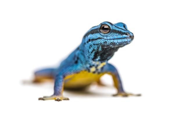 Gecko azul eléctrico