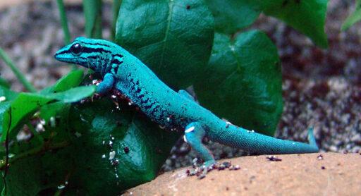 gecko azul electrico