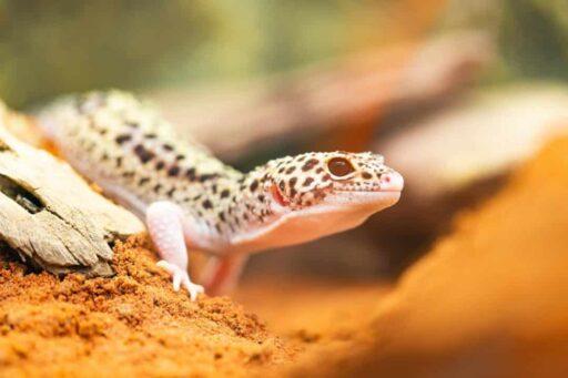 gecko leopardo afgano