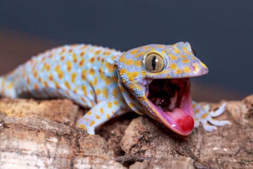 Gecko Tokay