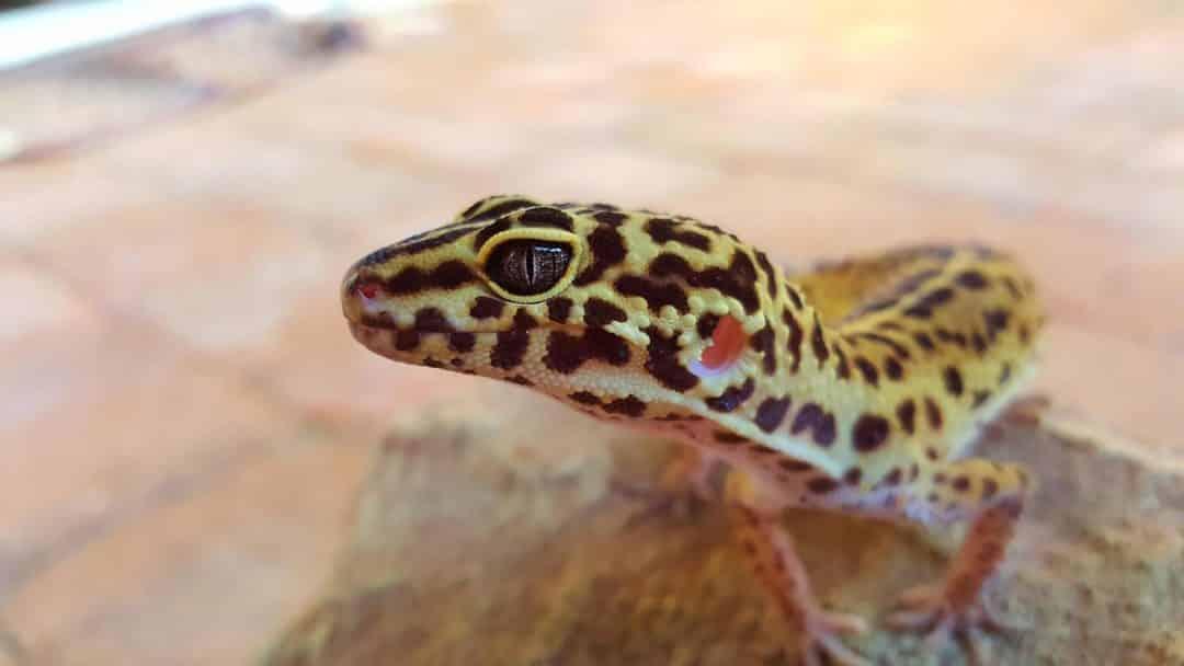 Gecko Leopardo bonito