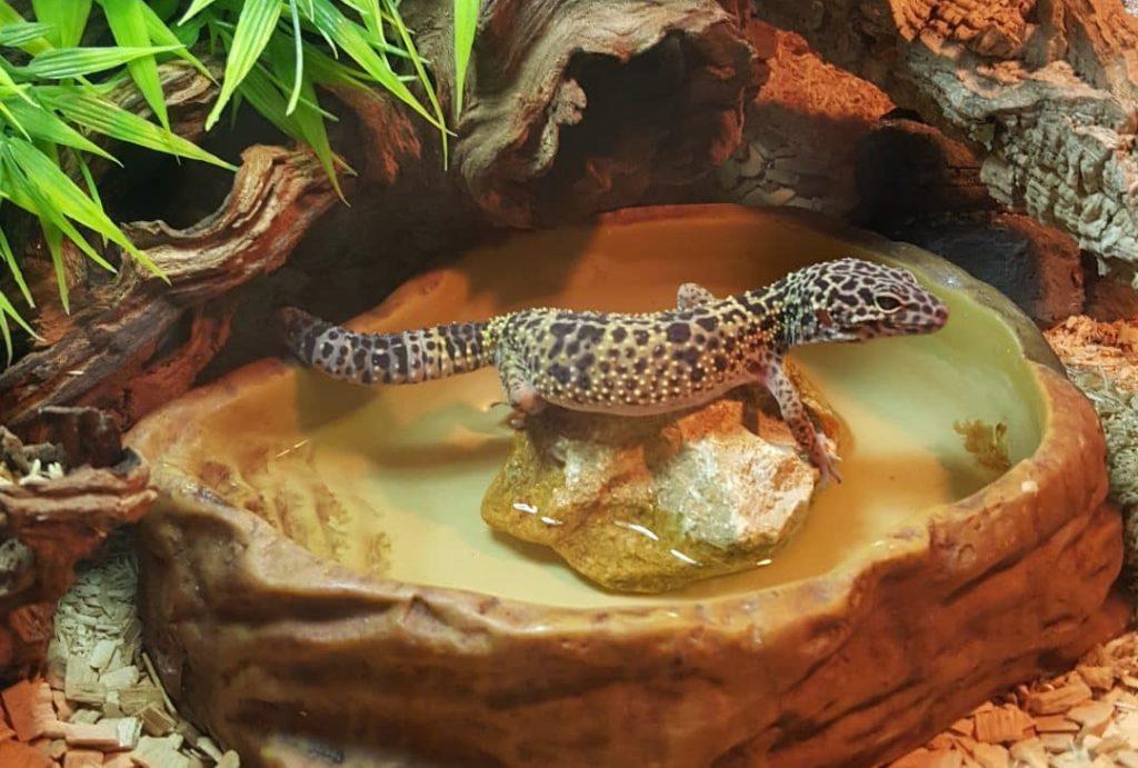 Gecko Leopardo en un terrario bien adaptado