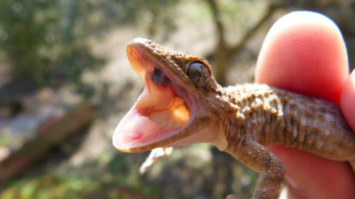gecko abriendo la boca