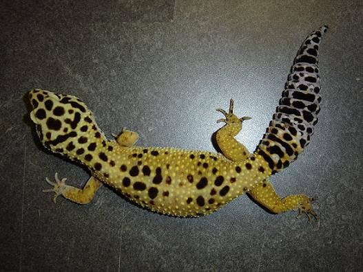 Gecko leopardo high Yellow