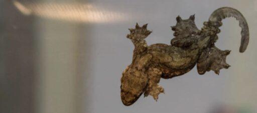 Ptychozoon Kuhli