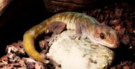 gecko ulikobskii