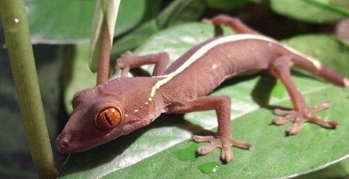 gecko vittatus