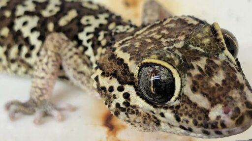 gecko ocelote