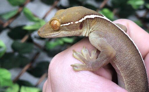 gecko de las palmeras
