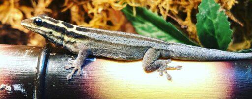 Lygodactulus kimhowelli