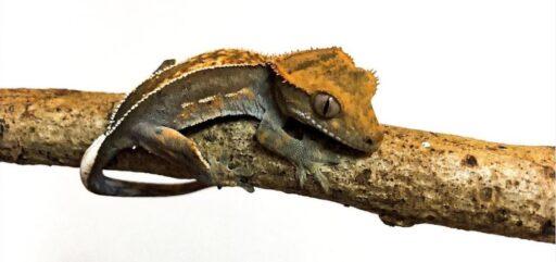 gecko cresta