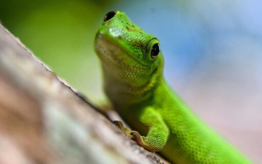 gecko phelsuna