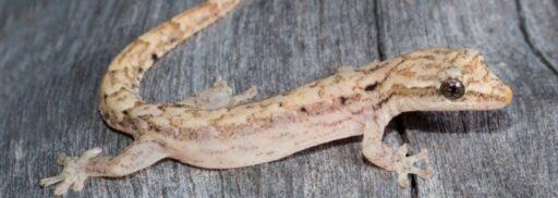 gecko enlutado
