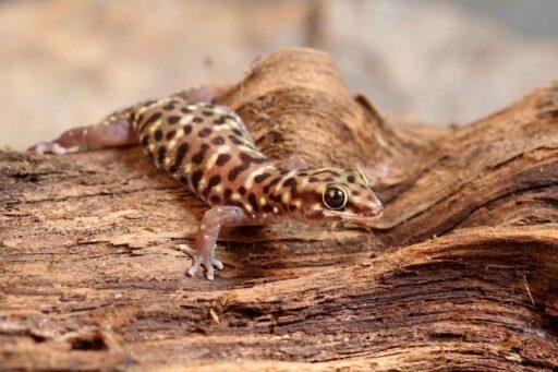 gecko tigre